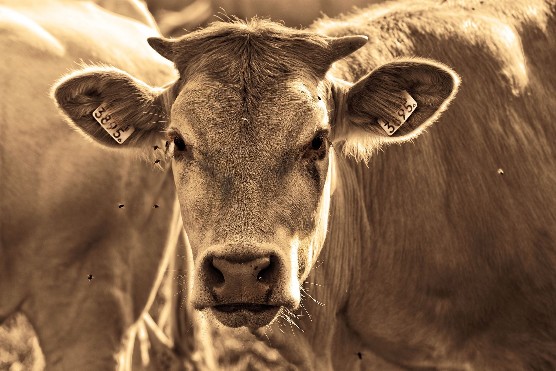 cow-3454611_1920