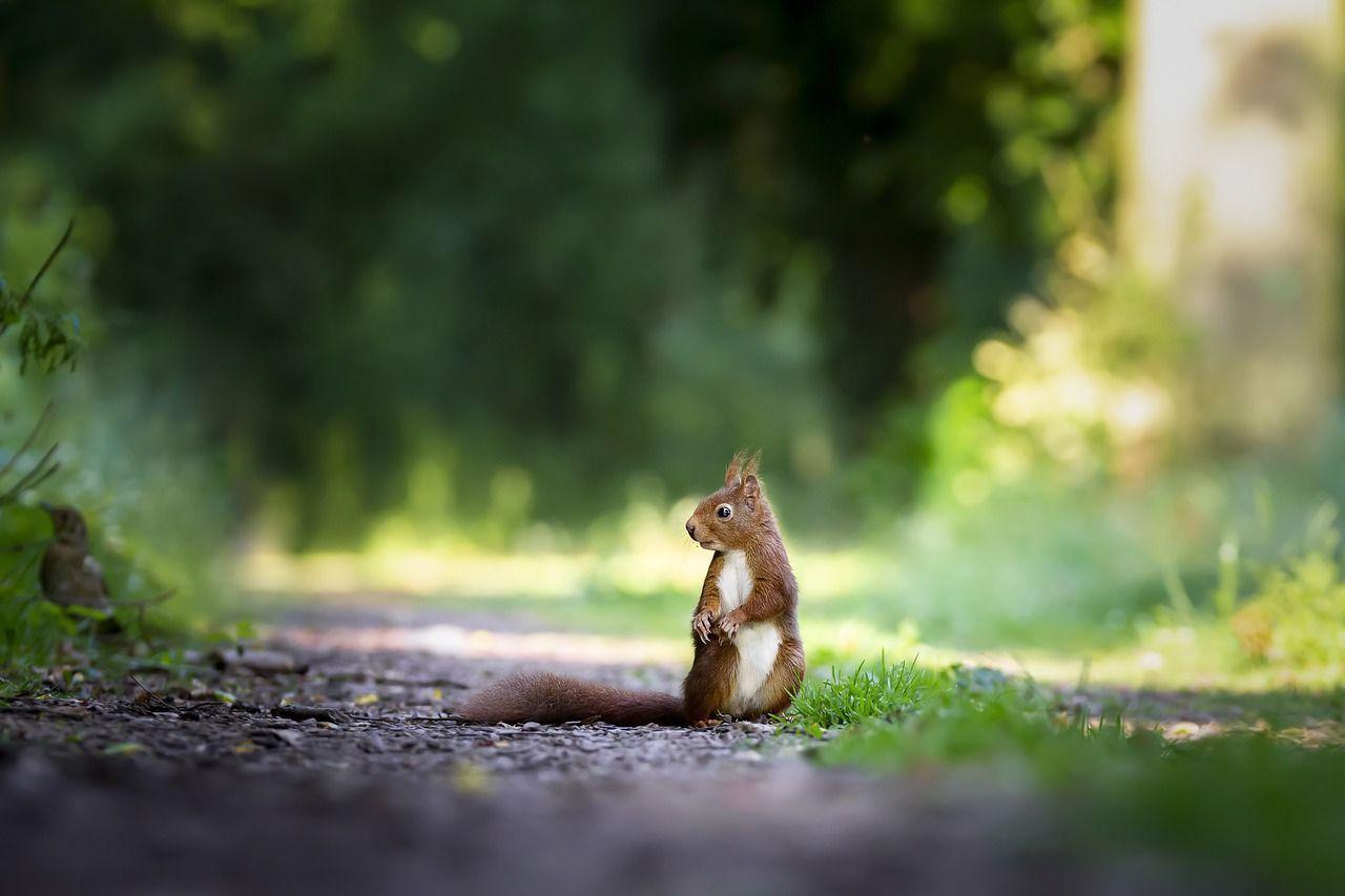 squirrel-4515962_1280